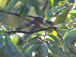c7781Fire-breastedFlowerpecker140830-9872