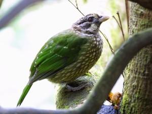 c8297SpottedCatbird010410