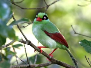 c8366GreenMagpie040415