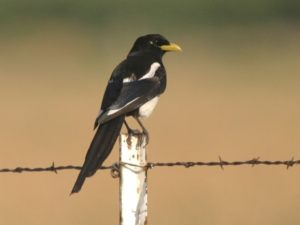 c8381Yellow-billedMagpie030617
