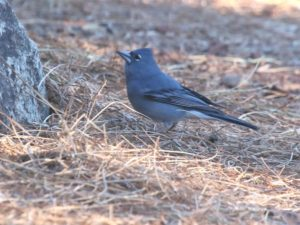c8918BlueChaffinch0140123-063