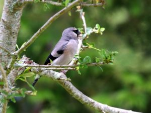 c9074Gray-headedBullfinch140829-9732