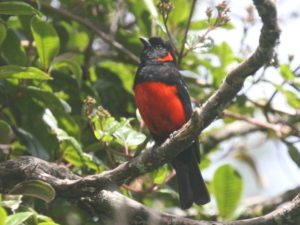 c9375Scarlet-belliedMountain-Tanager060415-146