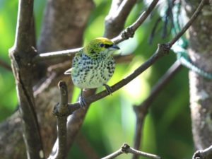 c9410SpeckledTanager111203-058