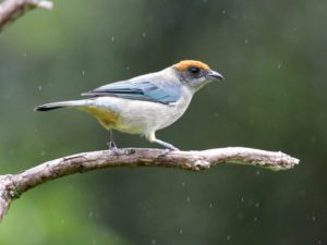 c9419ScrubTanager130623-129