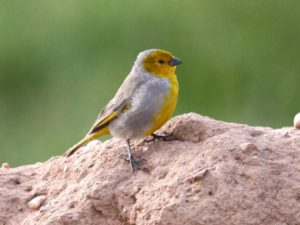 c9643Citron-headedYellow-Finch121116-6292
