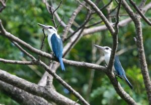 ts1120 Collared Kingfisher 070427 138